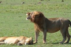 Lions de l'Afrique Image stock