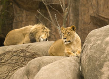 Lions de repos Photos stock