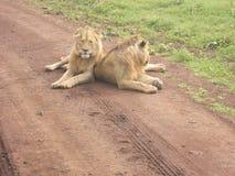 Lions de safari de l'Afrique Photographie stock