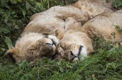 Lions de sommeil Photo libre de droits