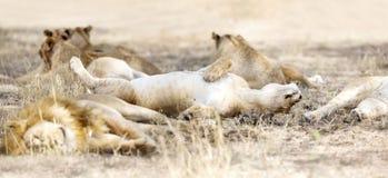 Lions de sommeil dans la grande fierté à la savane photo libre de droits