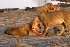 African Pride of Lions Down Time Stock Photography
