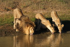 Lions drinking. Stock Photo