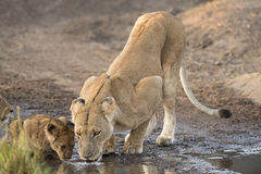 Lions drinking Stock Photography