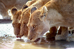 Lions drinking. A pride of seven (3) young lions, male and female, seen drinking water out of a dirt road in the Kruger National Park in South Africa. Just after Stock Photos