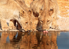 3 Lions drinking from a waterhole Royalty Free Stock Image