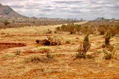 Lions eat on the safari Stock Image