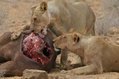 Lions eating buffalo Royalty Free Stock Photography