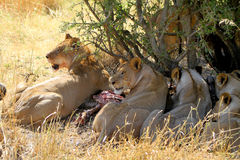 Lions Eating Stock Images