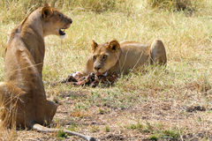 Lions Eating Royalty Free Stock Photography