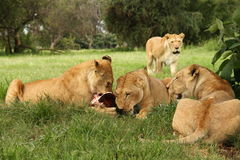 Lions eating meat. Four lions eating meat, South Africa royalty free stock photo