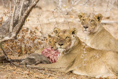 Lions eating a prey, in Kruger Park, South Africa. Two females lions and a baby eating a warthog in savannah, Kruger park, South Africa Royalty Free Stock Photos