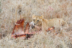 Lions eating a zebra Stock Photography