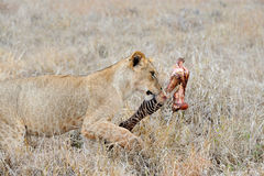 Lions eating a zebra Stock Photos