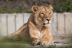 Lions en captivité dans le zoo de Madrid, Espagne Photos libres de droits