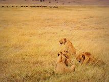 Lions en cratère de Ngorongoro, Tanzanie. Image libre de droits