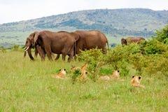Lions et éléphants Photographie stock libre de droits