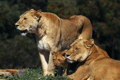 Lions et l'petit animal Photo libre de droits