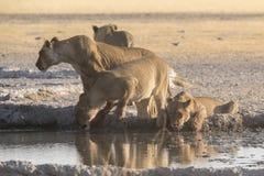 Lions et x28 ; Panthères Leo& x29 ; Photos stock