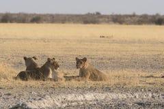Lions et x28 ; Panthera Leo& x29 ; Photos libres de droits