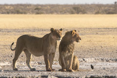 Lions et x28 ; Panthera Leo& x29 ; Image stock
