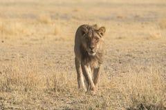 Lions et x28 ; Panthera Leo& x29 ; Photographie stock