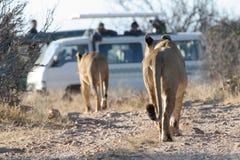 Lions et touristes Photographie stock libre de droits