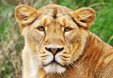 Lions face. Portrait of lions in grass Royalty Free Stock Image