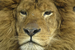 Lions face Stock Images
