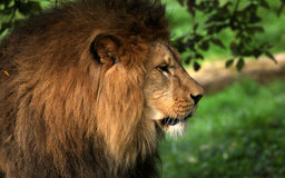 Lions face Royalty Free Stock Photos