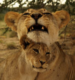 Lions family Royalty Free Stock Photos