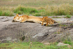 Lions family Stock Photo