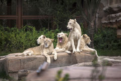 Lions Family Group in zoo Royalty Free Stock Photo