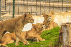 Lions. Family in Jijel zoo, Algeria Royalty Free Stock Image