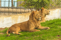 Lions. Family in Jijel zoo, Algeria Stock Photography