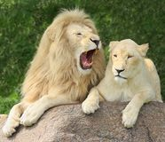 Lions Family Portrait. Male with open mouth royalty free stock photography