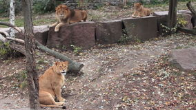 Lions Family Resting stock footage