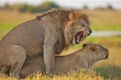 Lions family in savannah in tanzania Stock Photo