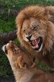 Lions family in savannah in tanzania Stock Photos