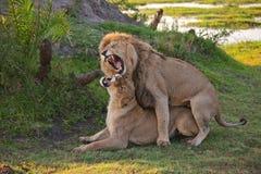 Lions family in savannah in tanzania Royalty Free Stock Photo