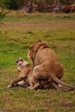 Lions family in savannah in tanzania Royalty Free Stock Photography
