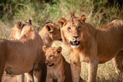 Lions family in the Serengeti. National Park of Tanzania during a photographic safari Royalty Free Stock Photography