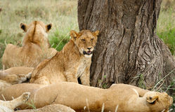 Lions family stock image