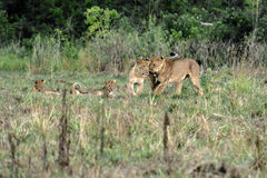Lions family. In Uganda, mother father cubs Royalty Free Stock Image