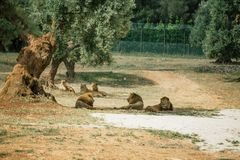 Lions in the in Fasano apulia Italy. Lions Pride in the nature lion, animal, predator, africa, cat african wild feline Royalty Free Stock Photography