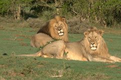 Lions father & son. Adult male lion and son enjoying the late afternoon sun before going to hunt. Already scouting the surrounding area in advance Royalty Free Stock Photo