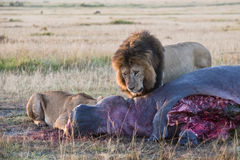 Lions feasting on hippo carcass Royalty Free Stock Photography