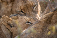Lions feeding on a Buffalo carcass. Royalty Free Stock Photography