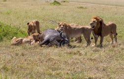 Lions Feeding Royalty Free Stock Photo