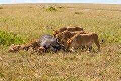 Lions Feeding Stock Photo